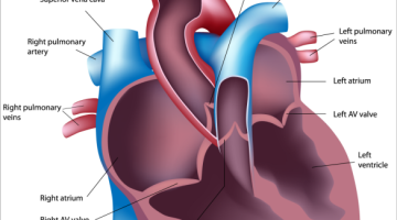 Internal anatomy of the pulmonary arteries