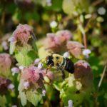 allergy pollen bee pulmonary hypertension