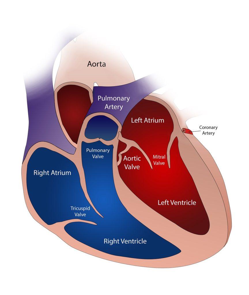 heart valves in pulmonary hypertension